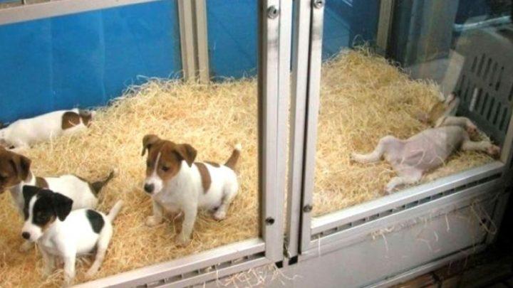"""CONTRA LAS """"VIDRIERAS VIVAS""""En Junín por ordenanza prohíben la exhibición de animales en locales comerciales"""