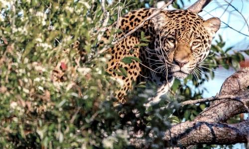 Liberaron en los Esteros del Iberá a una yaguareté nacida en cautiverioLiberan otra yaguareté en el Parque Iberá