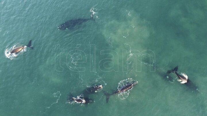 Disminuyen por falta de alimentoLa ballena franca austral, bajo amenaza por el calentamiento de los océanos
